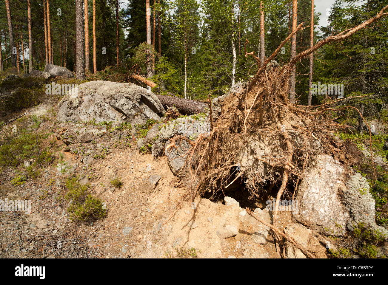 Storm damages in the forest , fallen pine tree , caused by strong winds , Finland Stock Photo