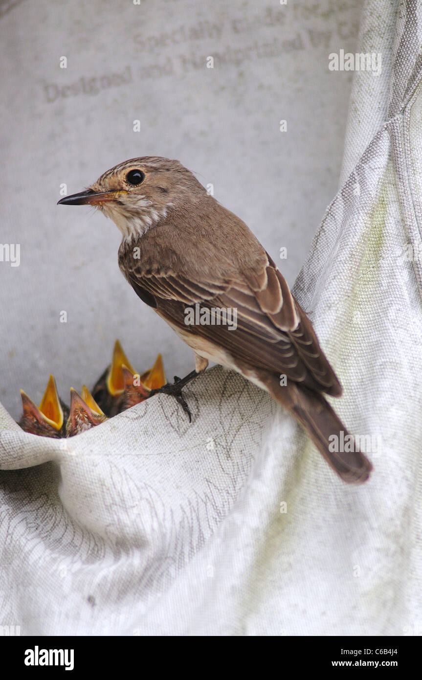 A spotted flycatcher with her nestlings in a peg bag Dorset UK - Stock Image