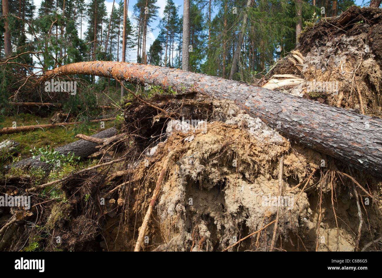 Storm damages in the forest , trunk of a fallen pine tree  , caused by strong winds , Finland Stock Photo