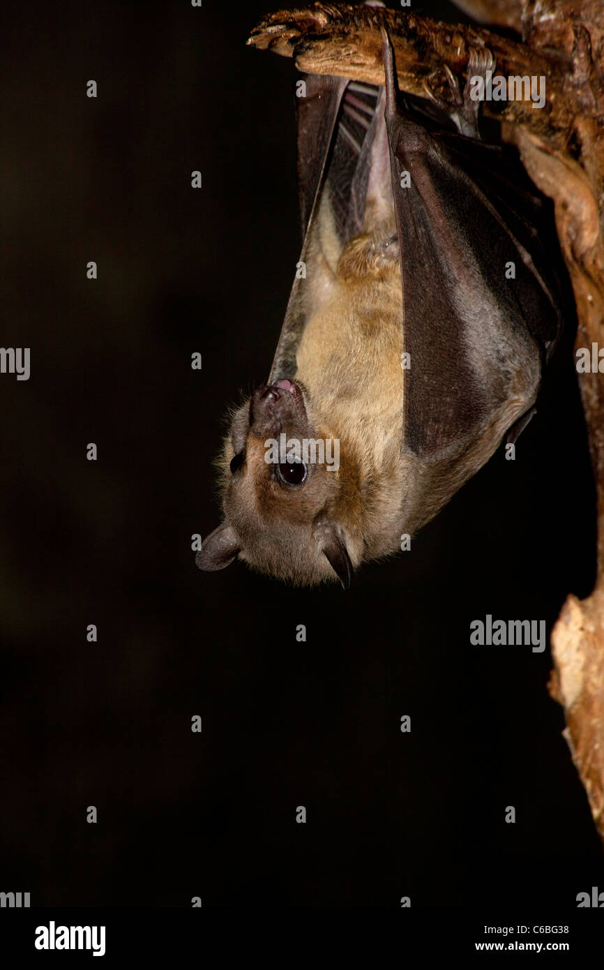 Egyptian fruit bat (Rousettus aegyptiacus) Stock Photo
