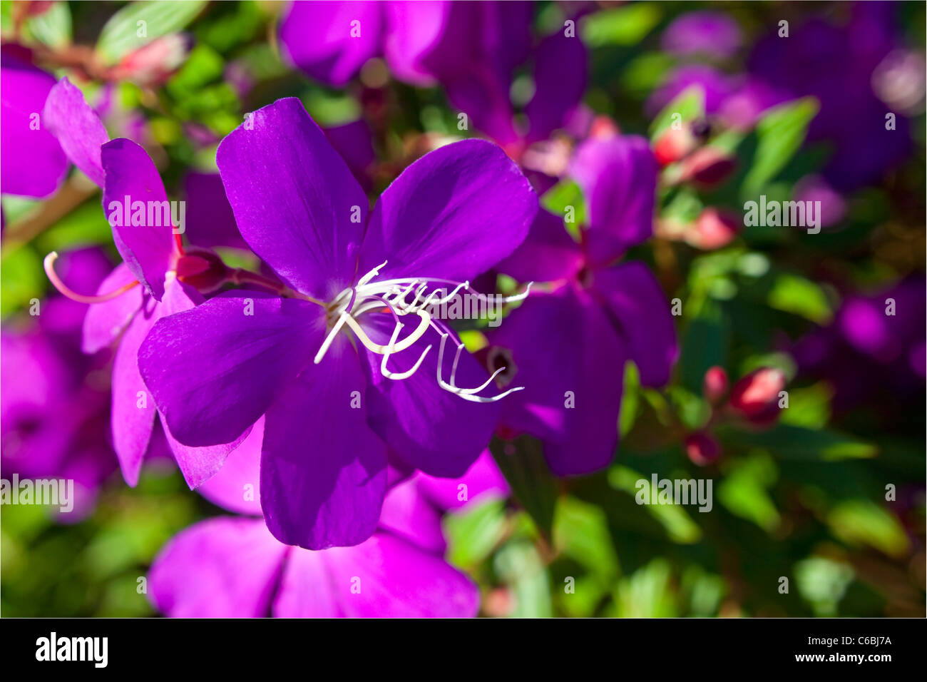 Tibouchina flower, Alstonville, NSW, Australia Stock Photo