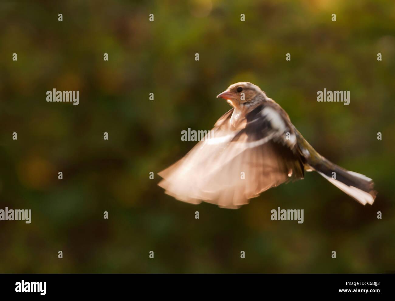 Female Chaffinch Fringilla coelebs in flight, Warwickshire - Stock Image
