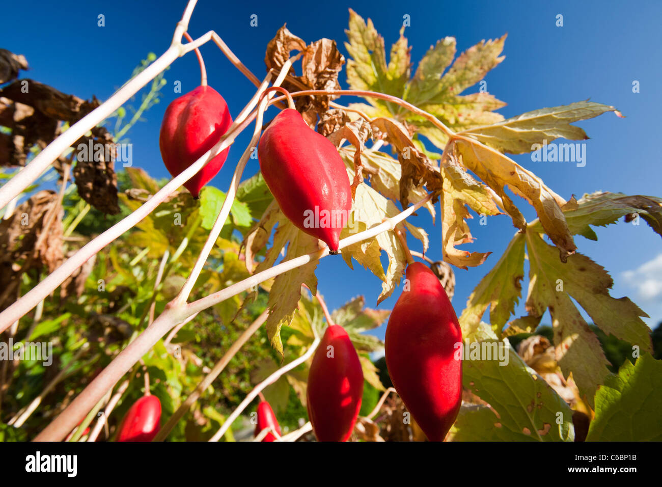 The fruits of Podophyllum hexandrum, or Himalayan may apple, also known as the Indian may apple. - Stock Image
