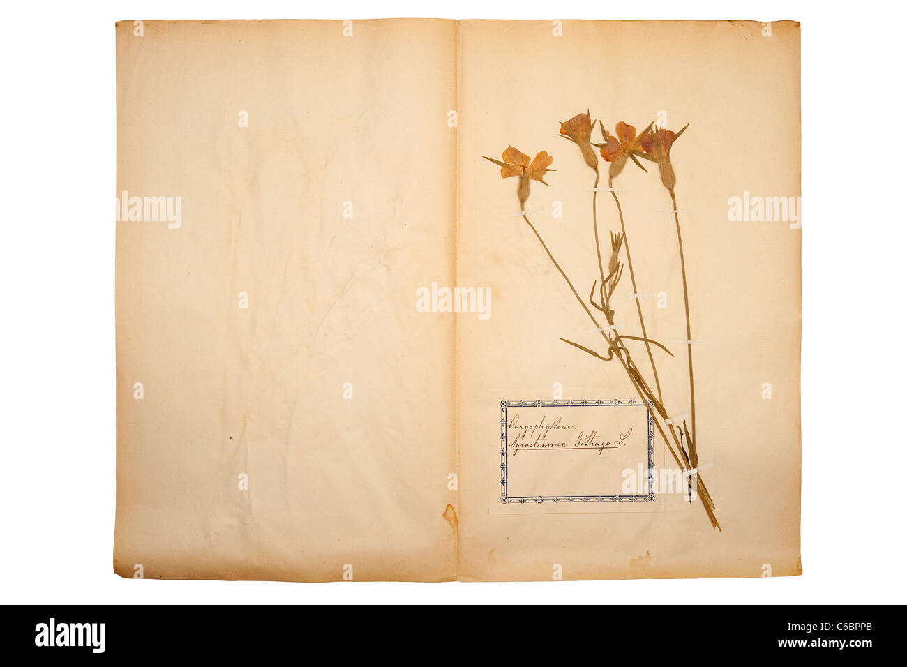 Pressed flower on old gone yellow paper stock photo 38368019 alamy pressed flower on old gone yellow paper mightylinksfo