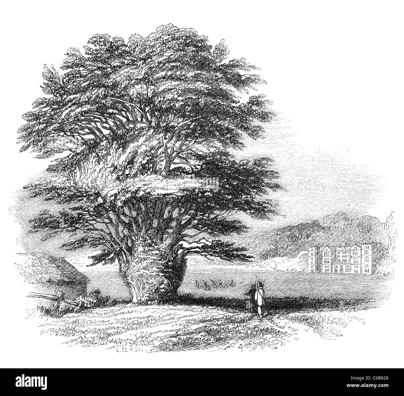 Yew-tree at Fountain Abbey, RIpon, Yorkshire. Engraving from a british magazine printed in 1843. - Stock Image