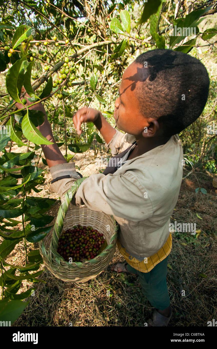 Coffee harvest Ethiopia - Stock Image