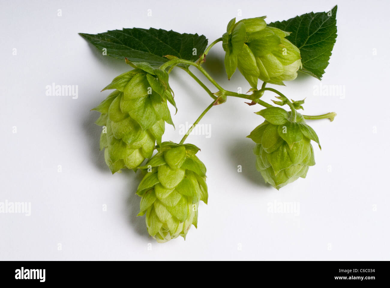 HOPS  Sazz- fine aroma hops - Stock Image