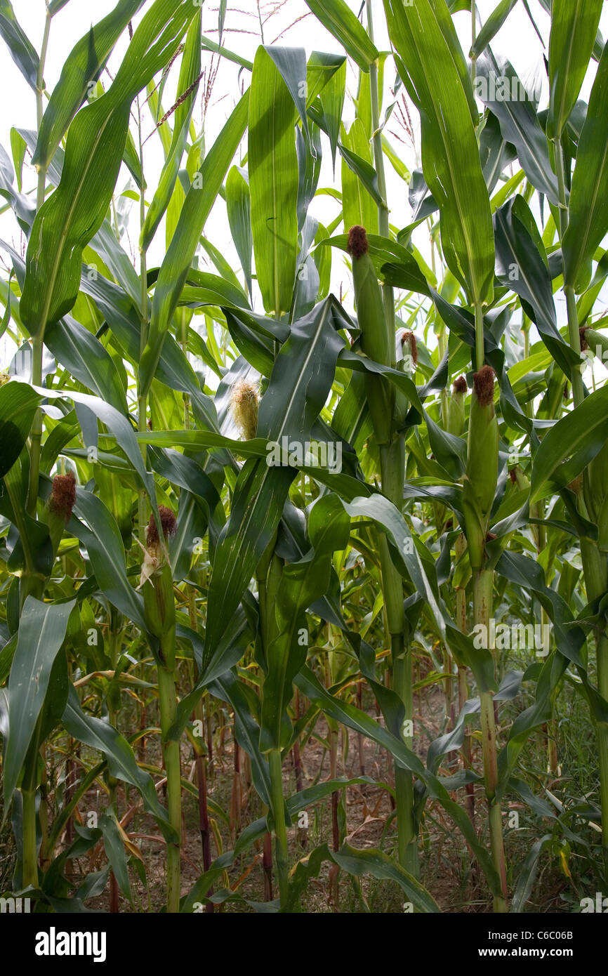 Corn Crops in Morges area of Switzerland - Vaud Canton - Stock Image