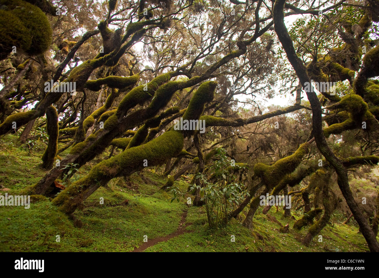 Moss covered misty forest Semien Mountains Ethiopia - Stock Image