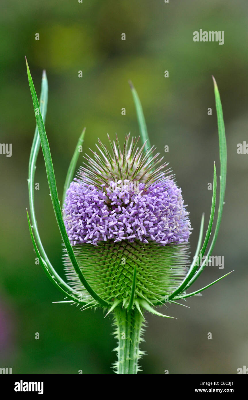 Close up of teasel flowers in bloom. Dorset, UK August 2011 - Stock Image