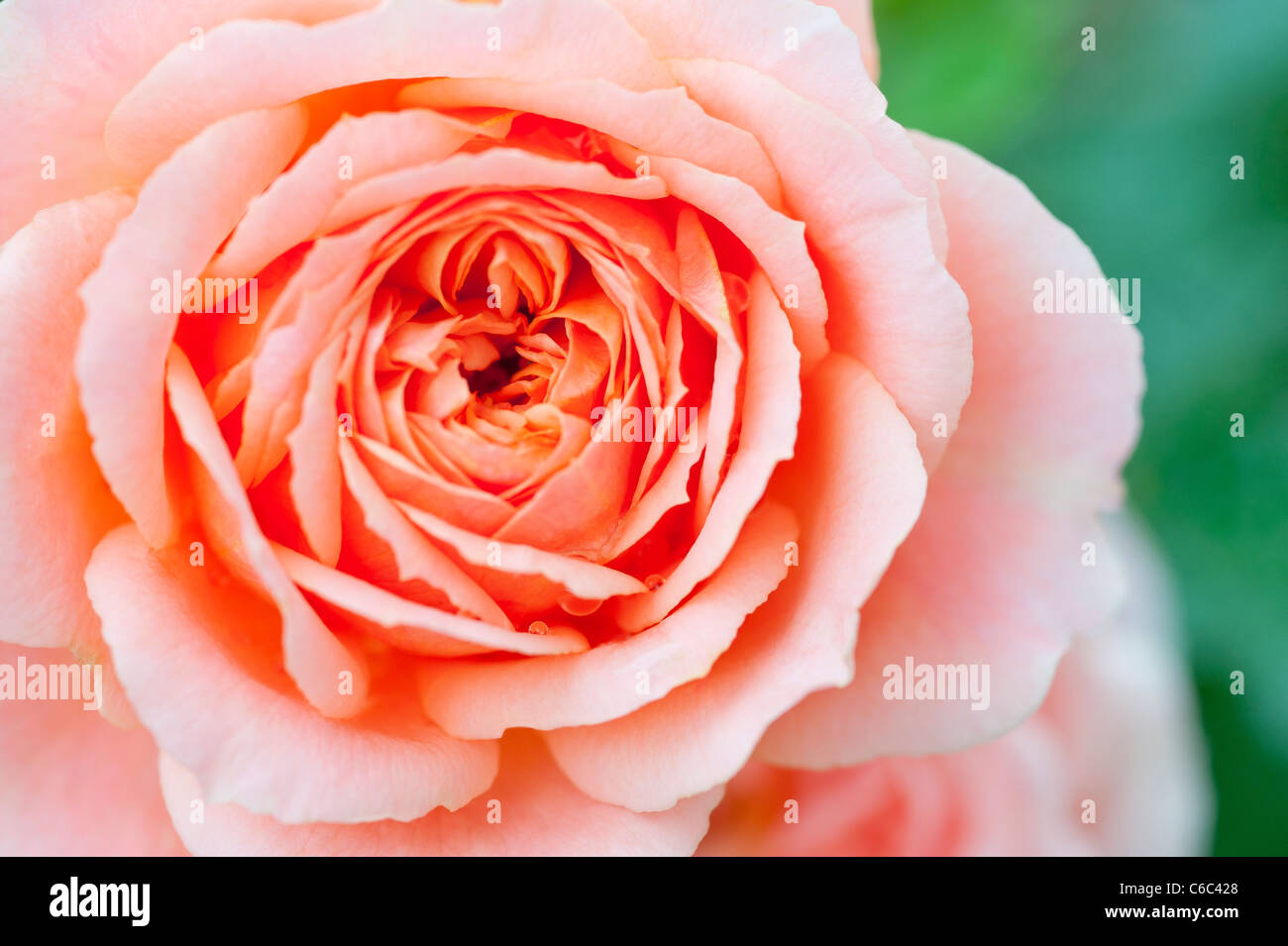 A macro close up of a pink Patio Rose 'Fryminicot' shot in an English garden in summer - Stock Image
