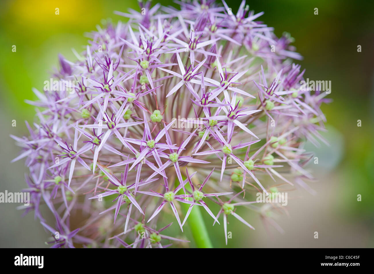 A macro close up of an extraordanairy pink and purple Allium 'Christolphi' in an English garden Stock Photo