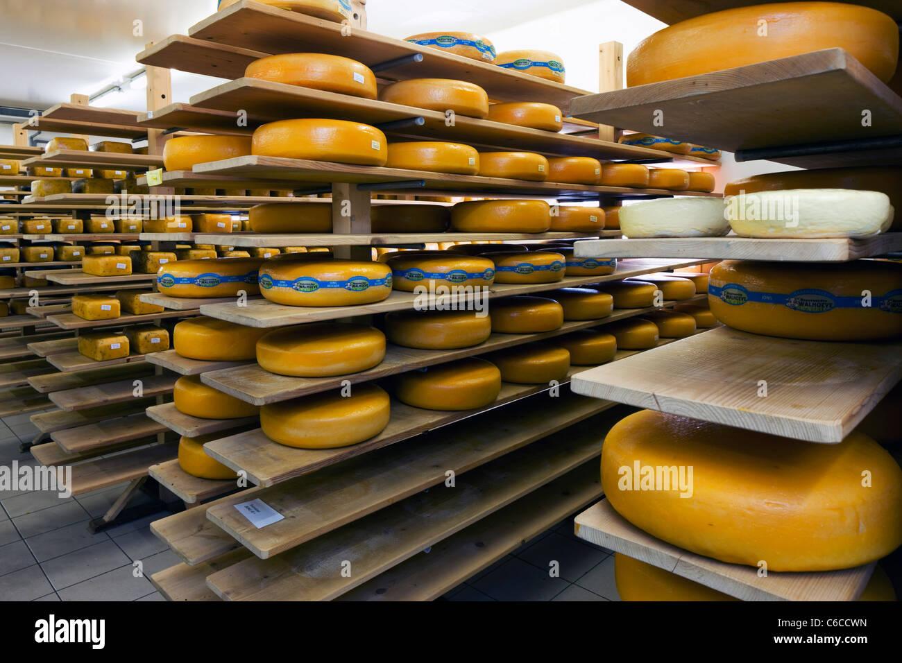 Cheeses in dairy storage room of the Beauvoordse Walhoeve, Veurne, Belgium - Stock Image