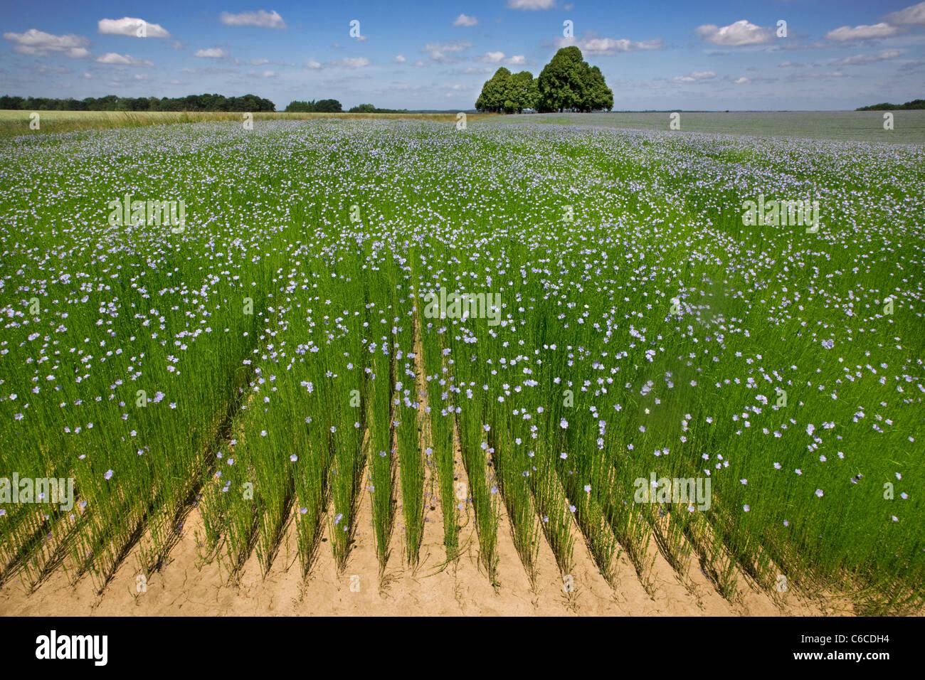 Flax field (Linum usitatissimum) in flower in summer, West Flanders, Belgium - Stock Image
