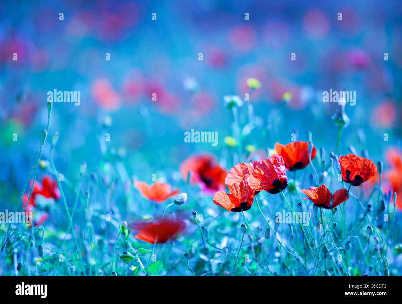 Poppy flower field at night with a dreamy blue cast and selective soft focus, natural background of wild summer - Stock Image