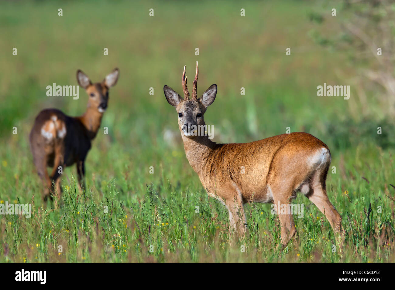 Roe deer (Capreolus capreolus) roebuck with female in field, Germany - Stock Image