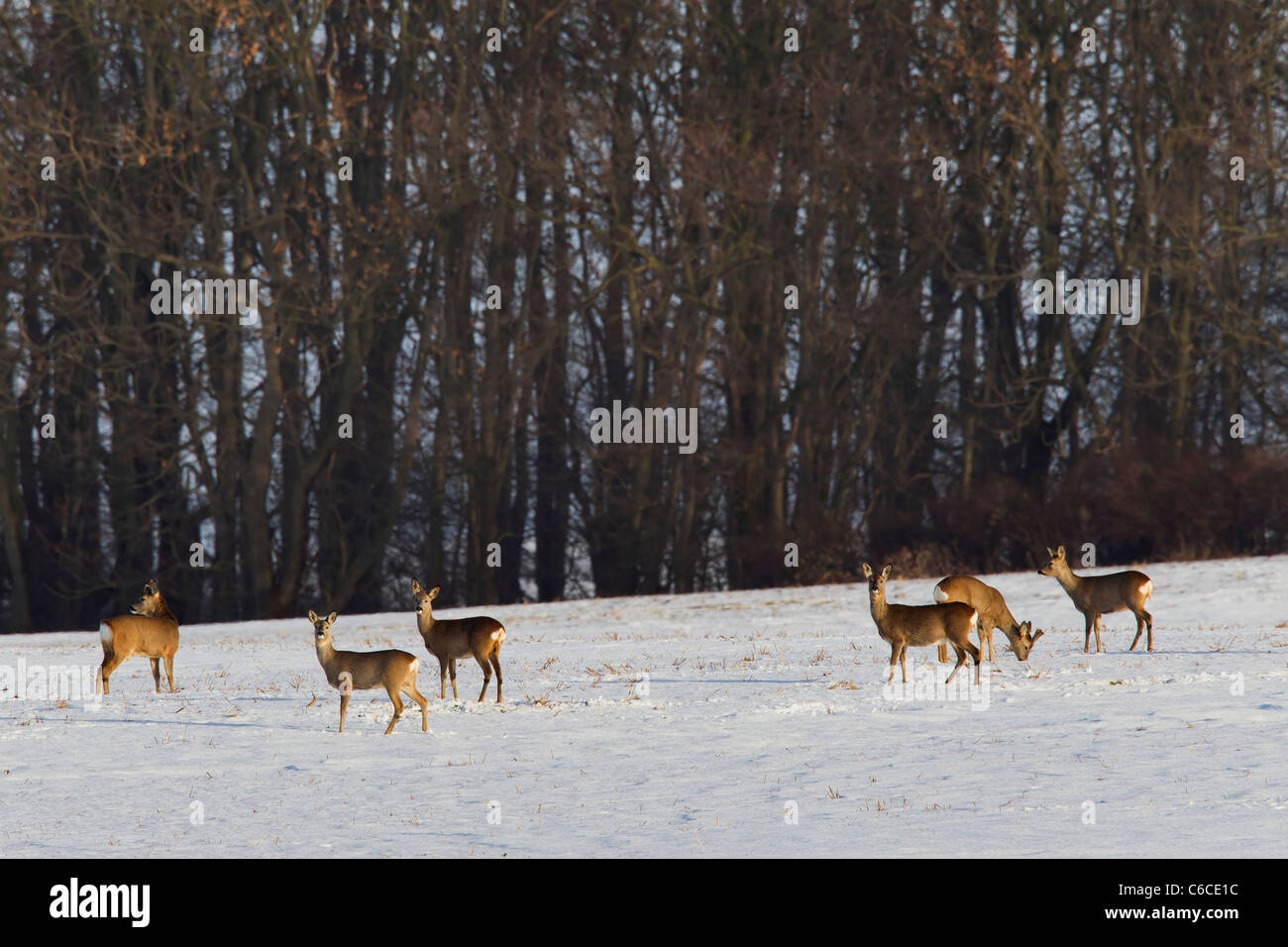 Roe deer (Capreolus capreolus) herd feeding in snow covered field along forest in winter, Germany Stock Photo