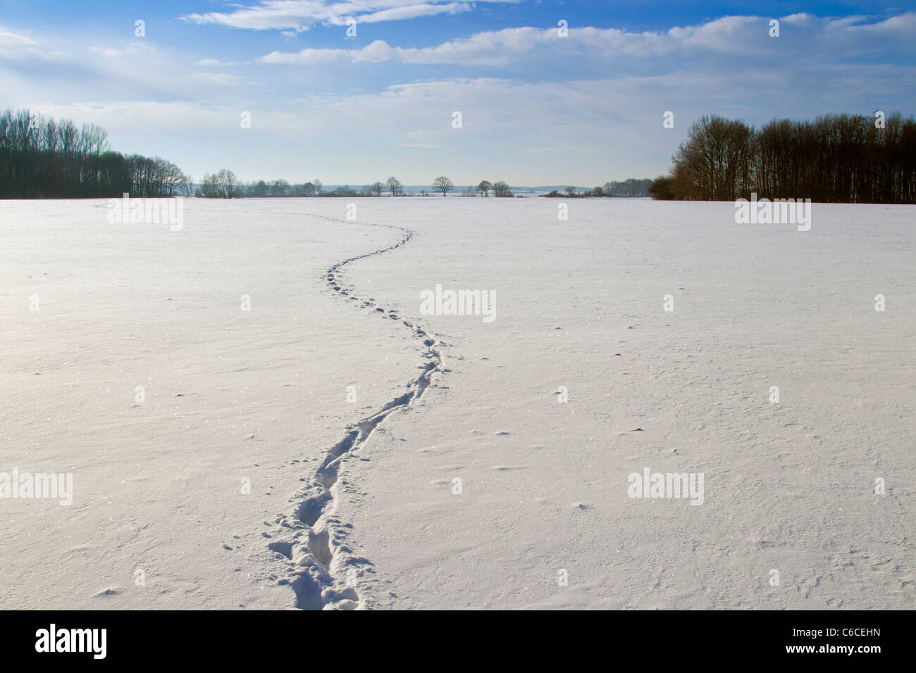 Wild boar (Sus scrofa) track running zigzag through field in the snow in winter, Germany Stock Photo