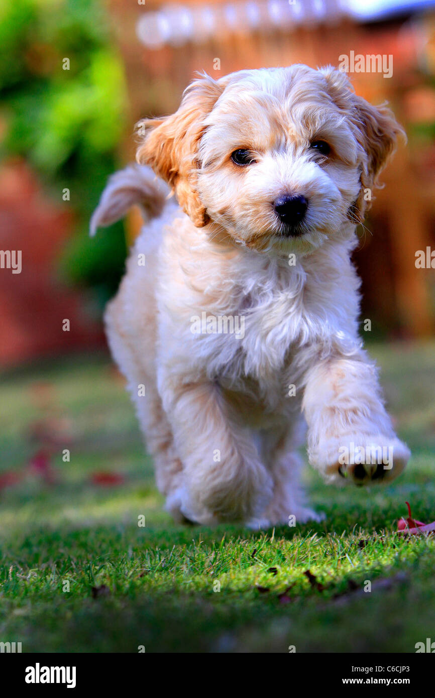 Puppy Cockapoo in garden - Stock Image