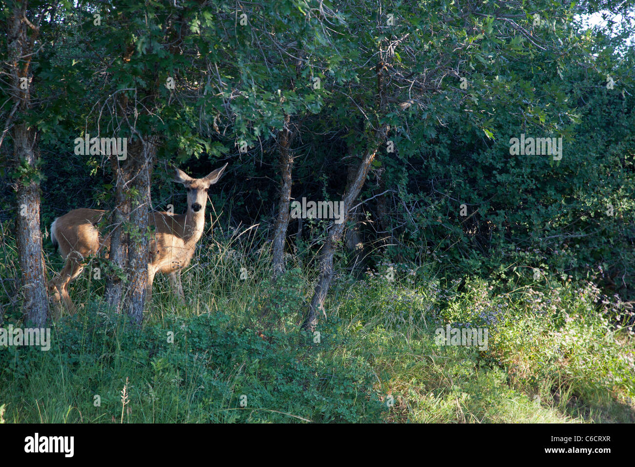 Montrose, Colorado - Mule deer at Black Canyon of the Gunnison National Park. - Stock Image
