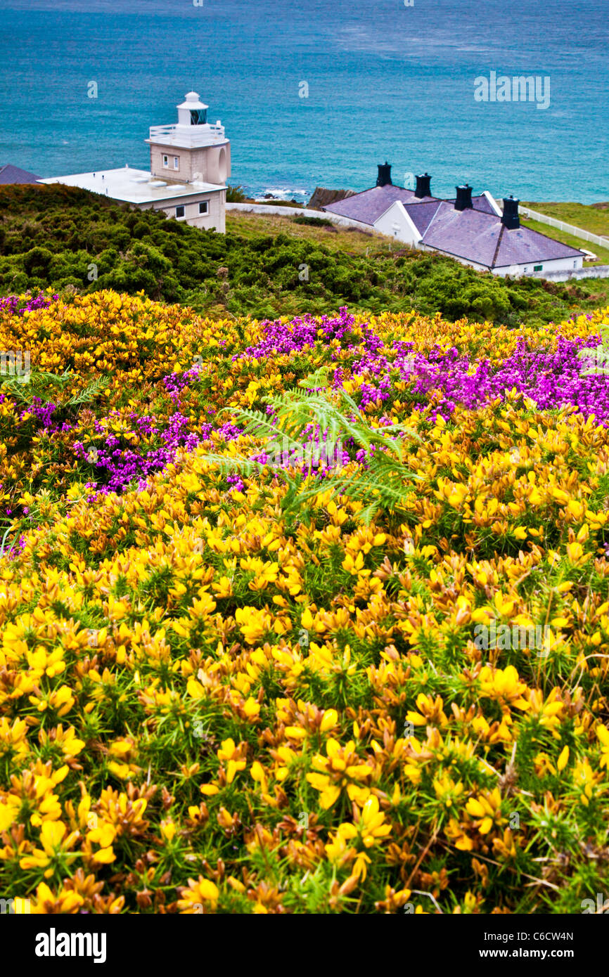Yellow gorse and purple heather with Bull Point Lighthouse beyond, near Woolacombe and Morthoe, Devon, England, - Stock Image