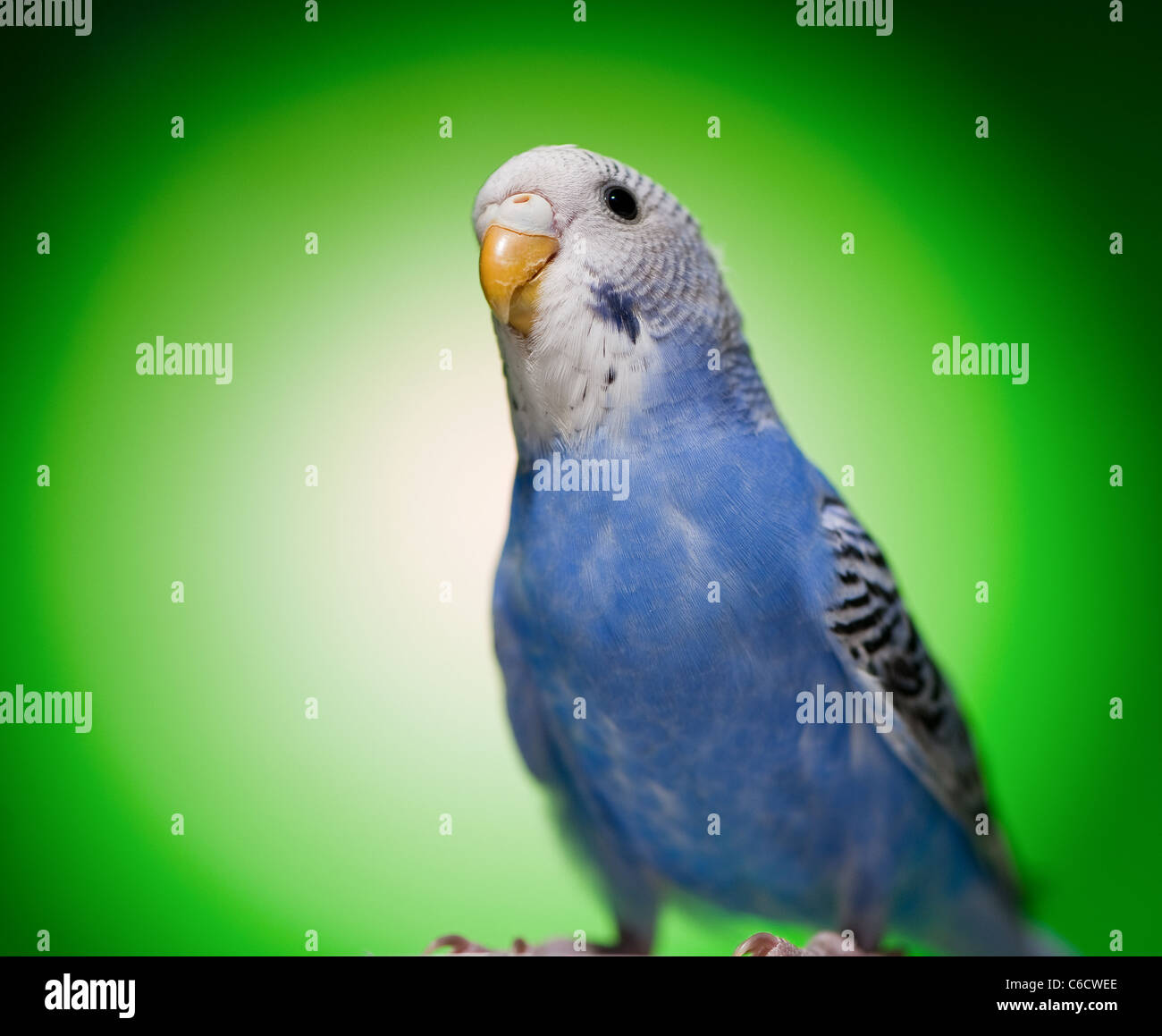 one blue budgies parrot on green background Stock Photo