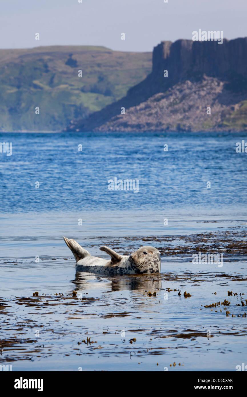 Seal on Rathlin Island, Northern Ireland. - Stock Image