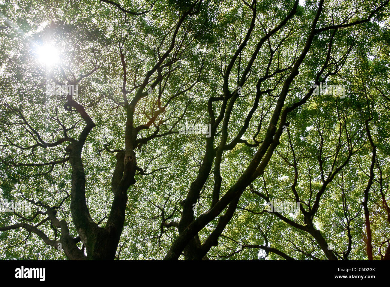 Branche and foliage of canopy taking up the whole sky will sun shining through Stock Photo