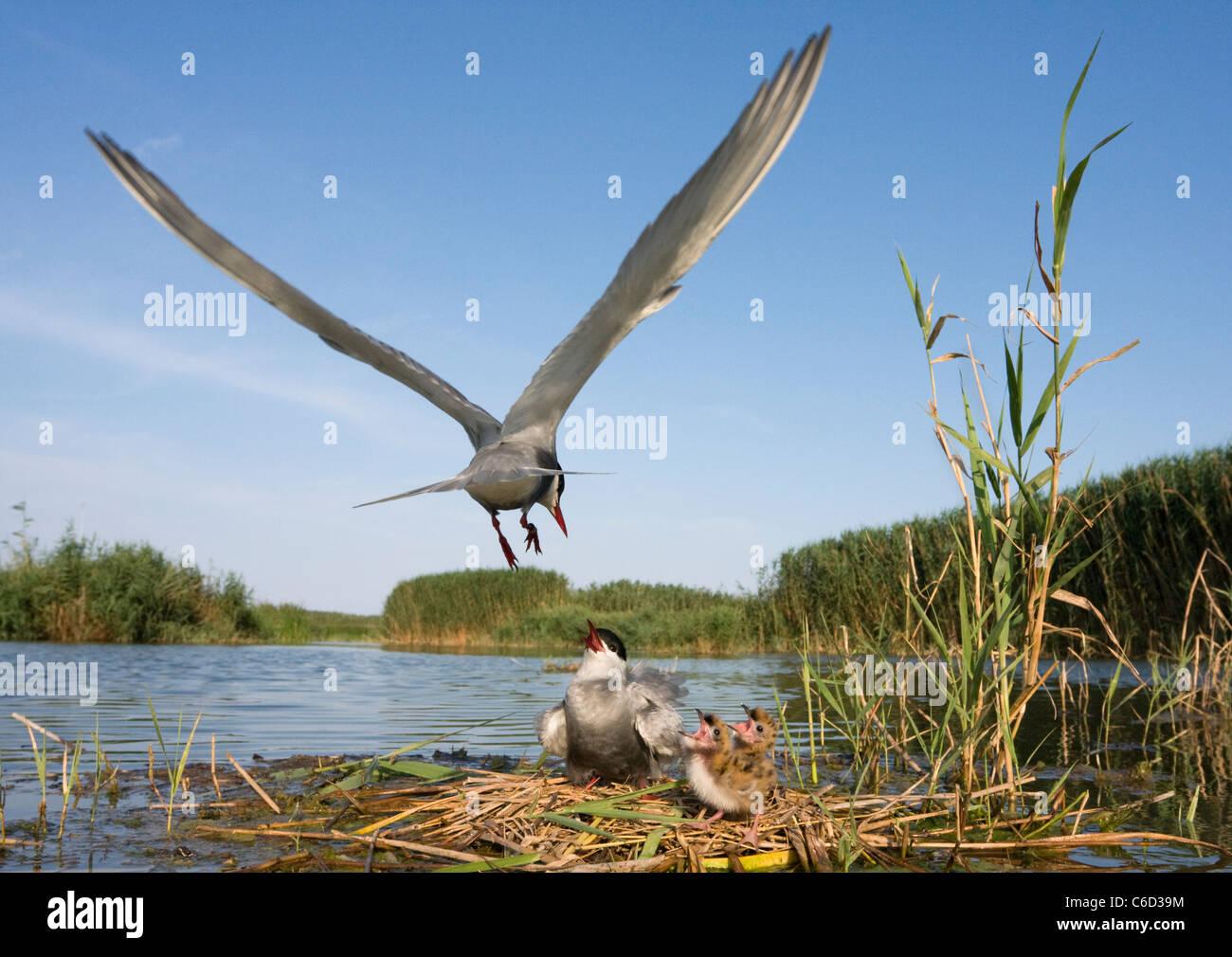 Whiskered tern, Chlidonias hybrida, feeding chicks at nest, Valencia, Spain - Stock Image