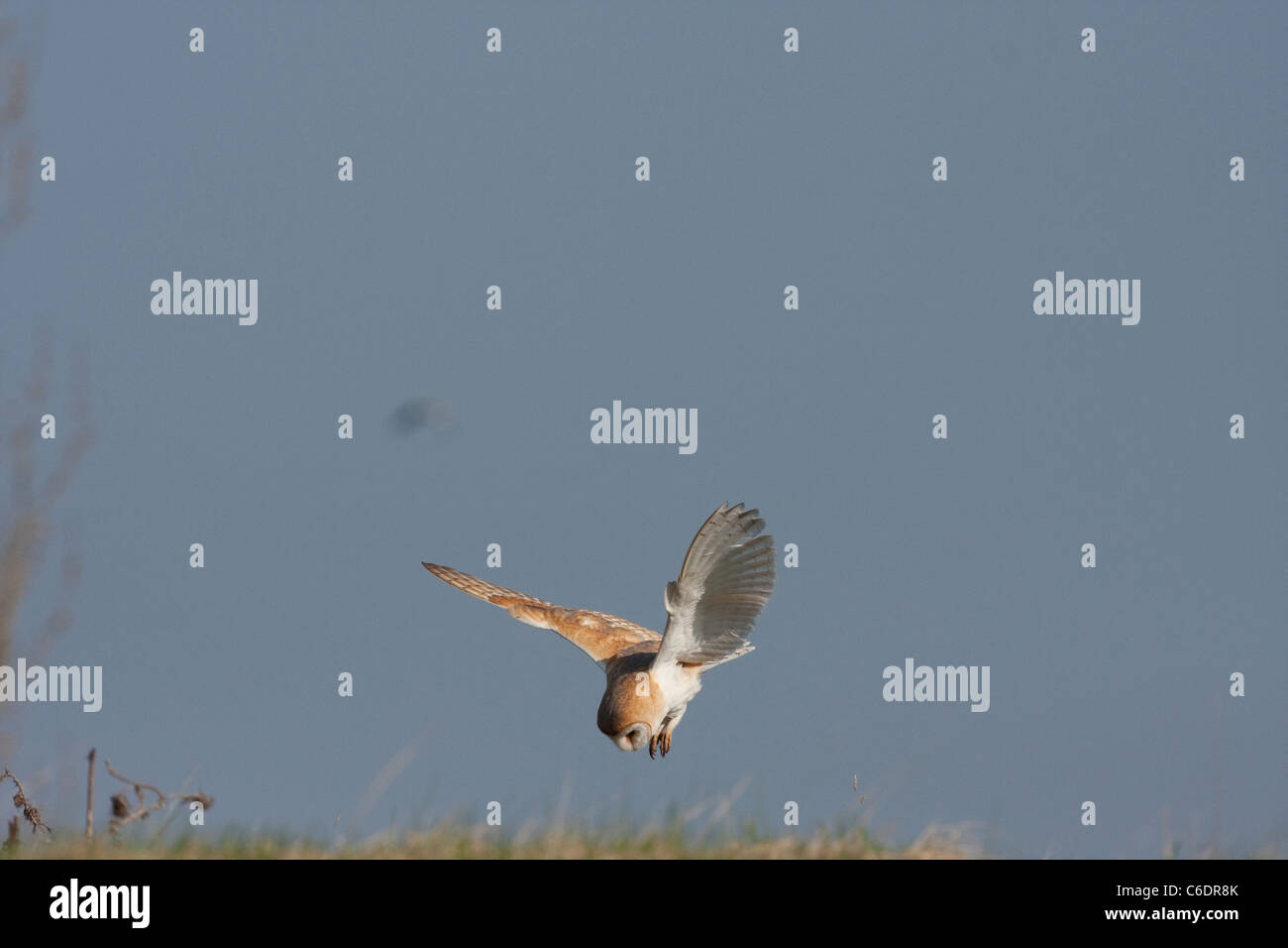 Barn Owl hunting prey with head focused and talons poised. - Stock Image
