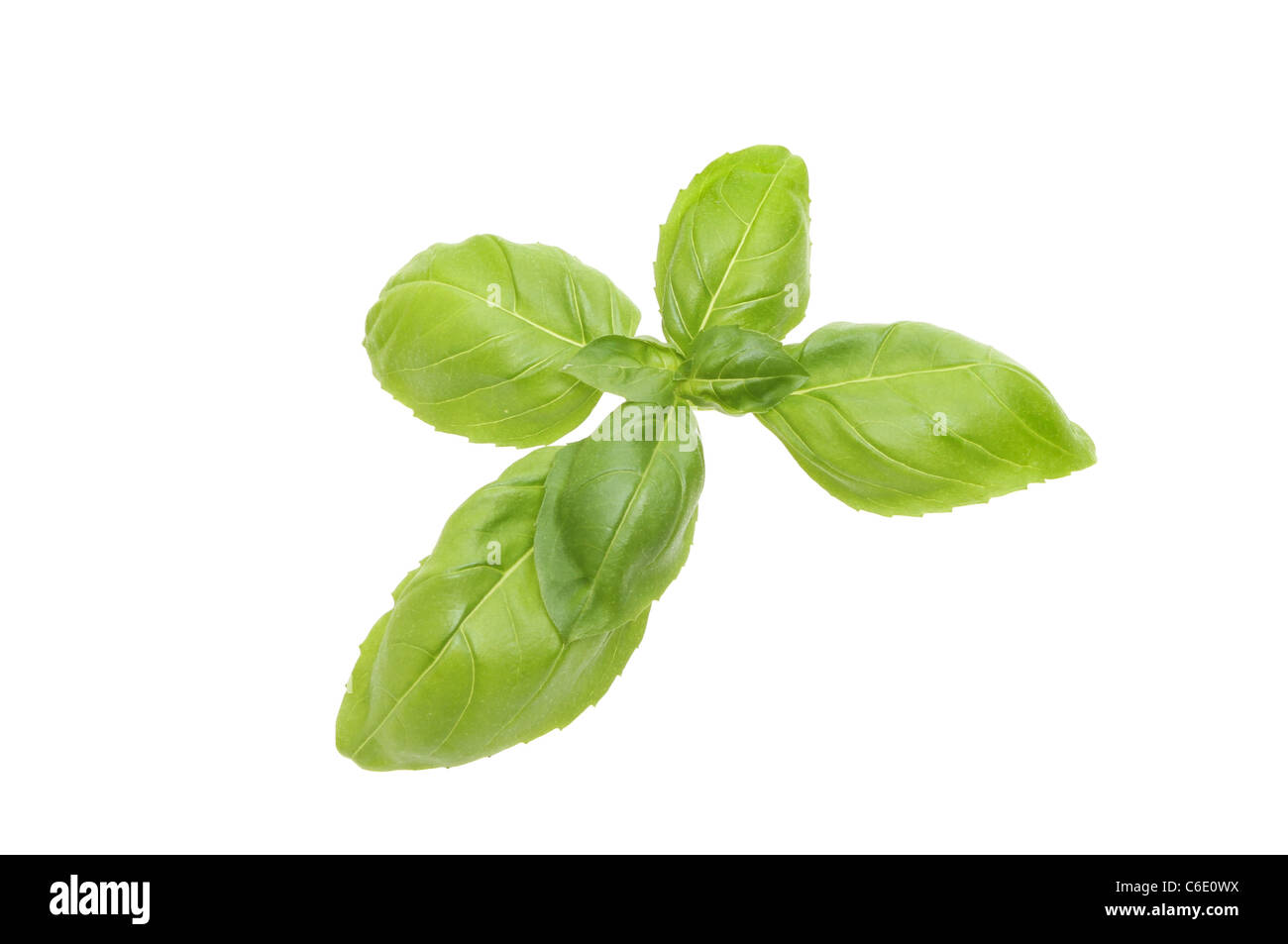 Sprig of fresh basil herb isolated against white - Stock Image