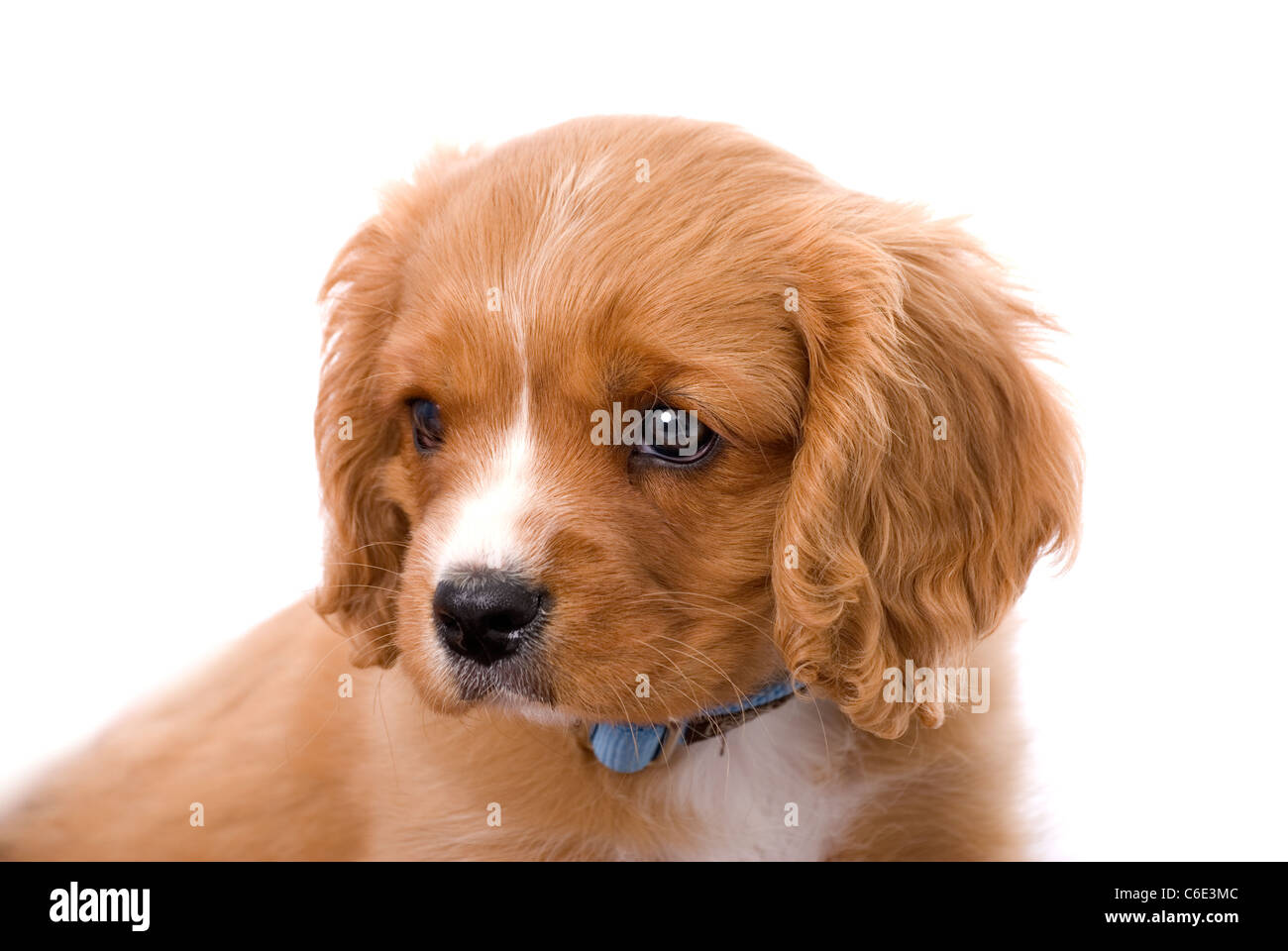 Most Inspiring Cavalier Brown Adorable Dog - an-adorable-6-week-old-king-charles-cavalier-puppy-gazing-camera-left-C6E3MC  Trends_246881  .jpg