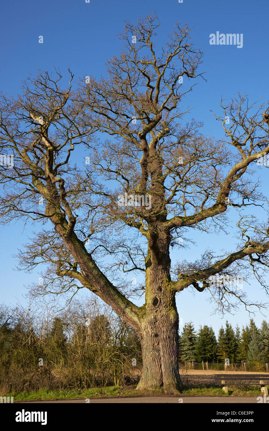 Old oak tree - Stock Image