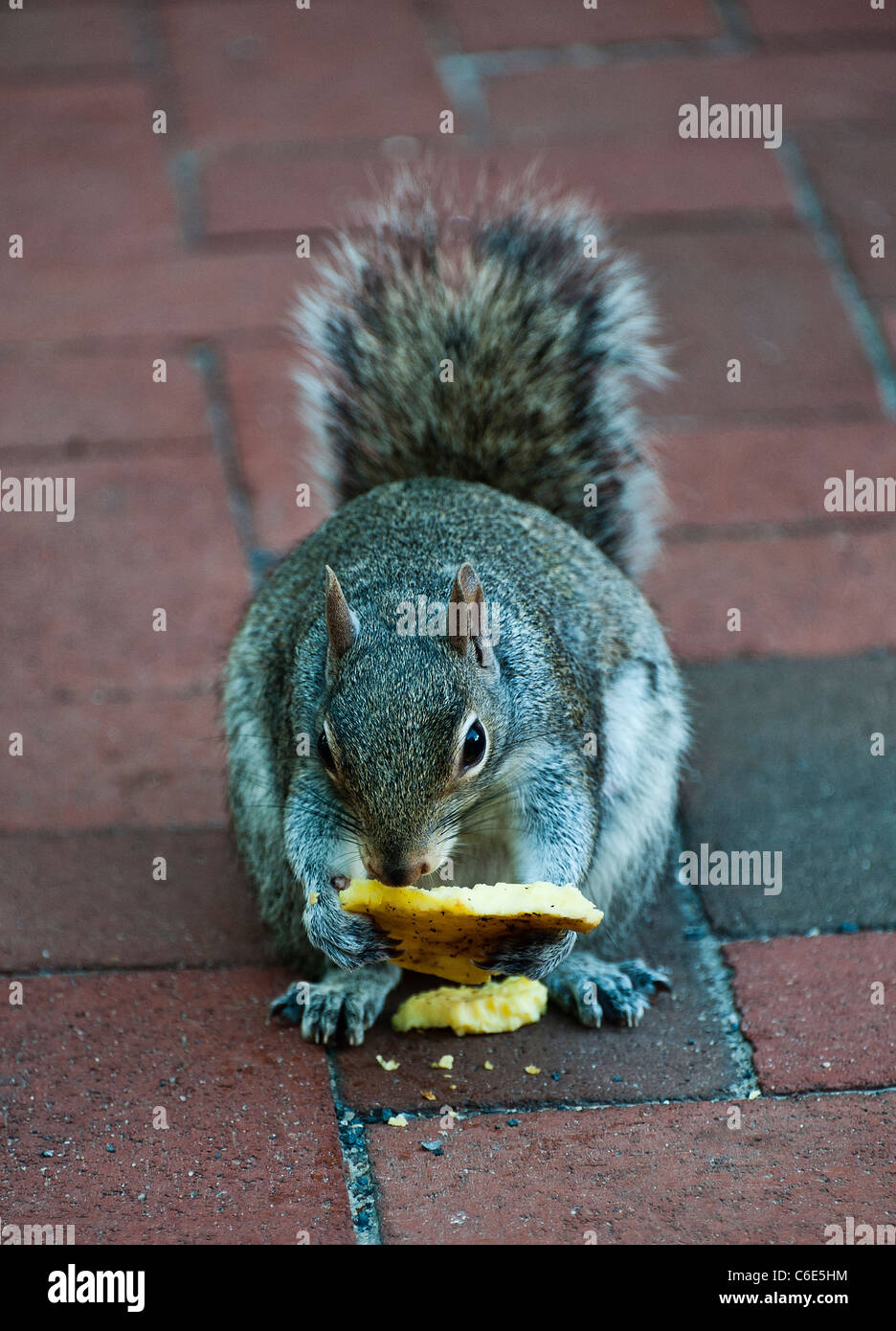 Squirrel eating discarded human food. - Stock Image