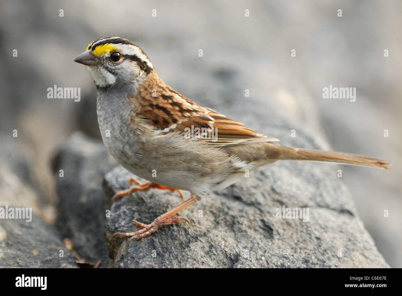 White-throated Sparrow (Zonotrichia albicollis) in Central Park, New York - Stock Image