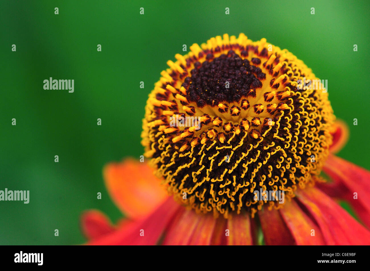 A helenium flower with its copper red petals in a garden UK - Stock Image