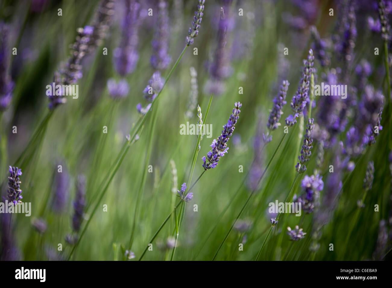 Lavender in flower in summertime, Lavandula angustifolia - Stock Image