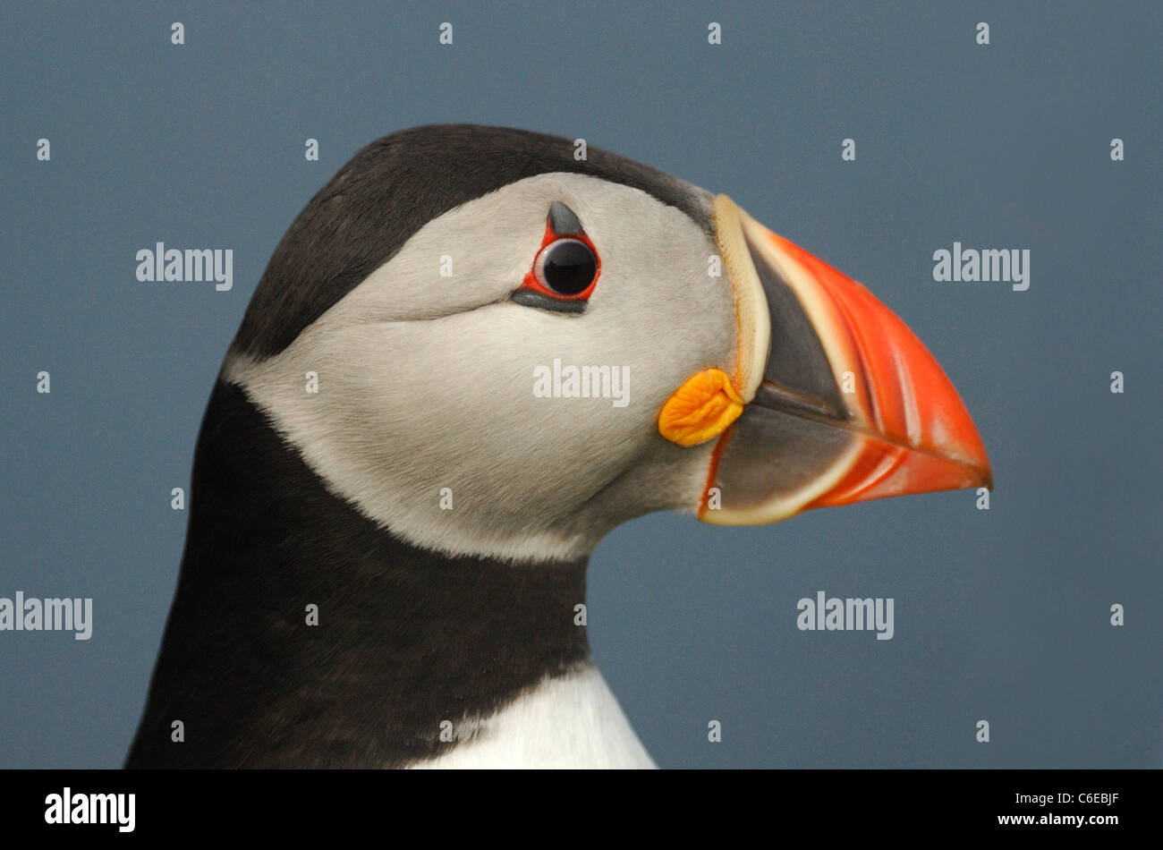 Puffin (Fratercula arctica) on the coastal cliffs of Skomer Island, Pembrokeshire, Wales, UK. May 2011. - Stock Image