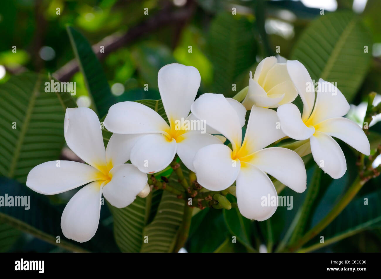 Yellow jasmine flower stock photos yellow jasmine flower stock white jasmine flowers with yellow centre siem reap cambodia exotic asia asian flora floral stock izmirmasajfo