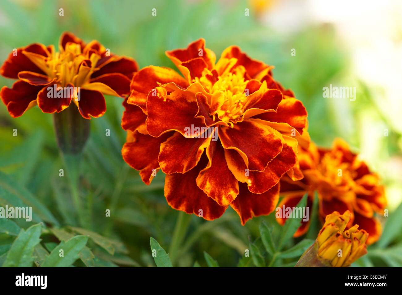 marigolds tagetes 'patula' compositae planted to deter aphids from plants flowers in an organic garden natural - Stock Image