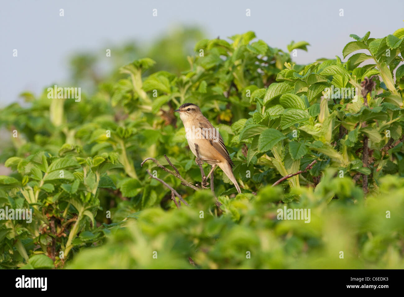 Sedge Warbler in foliage summer visitor - Stock Image