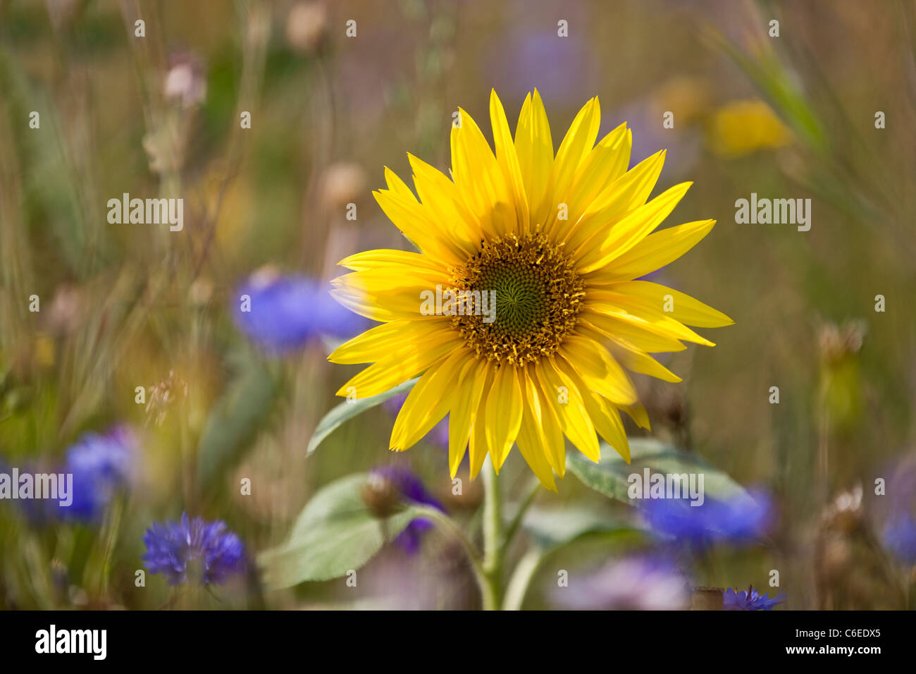 A sunflower growing in a meadow of wildflowers - Stock Image