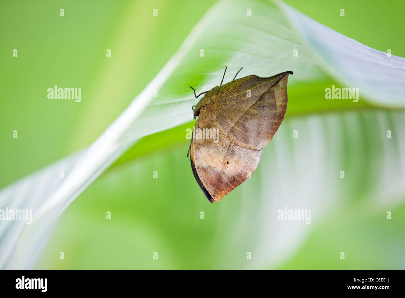 An Orange Oakleaf or Dead Leaf butterfly on a leaf, Kallima inachus - Stock Image