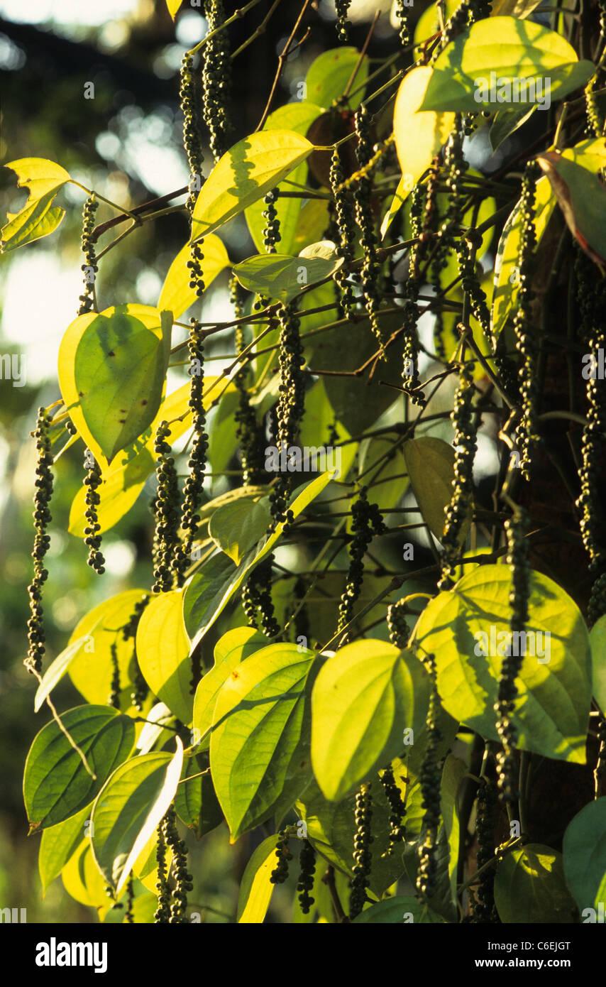 INDIA Kerala, fair trade and organic pepper harvest at Sahyadri Farmers Consortium - Stock Image