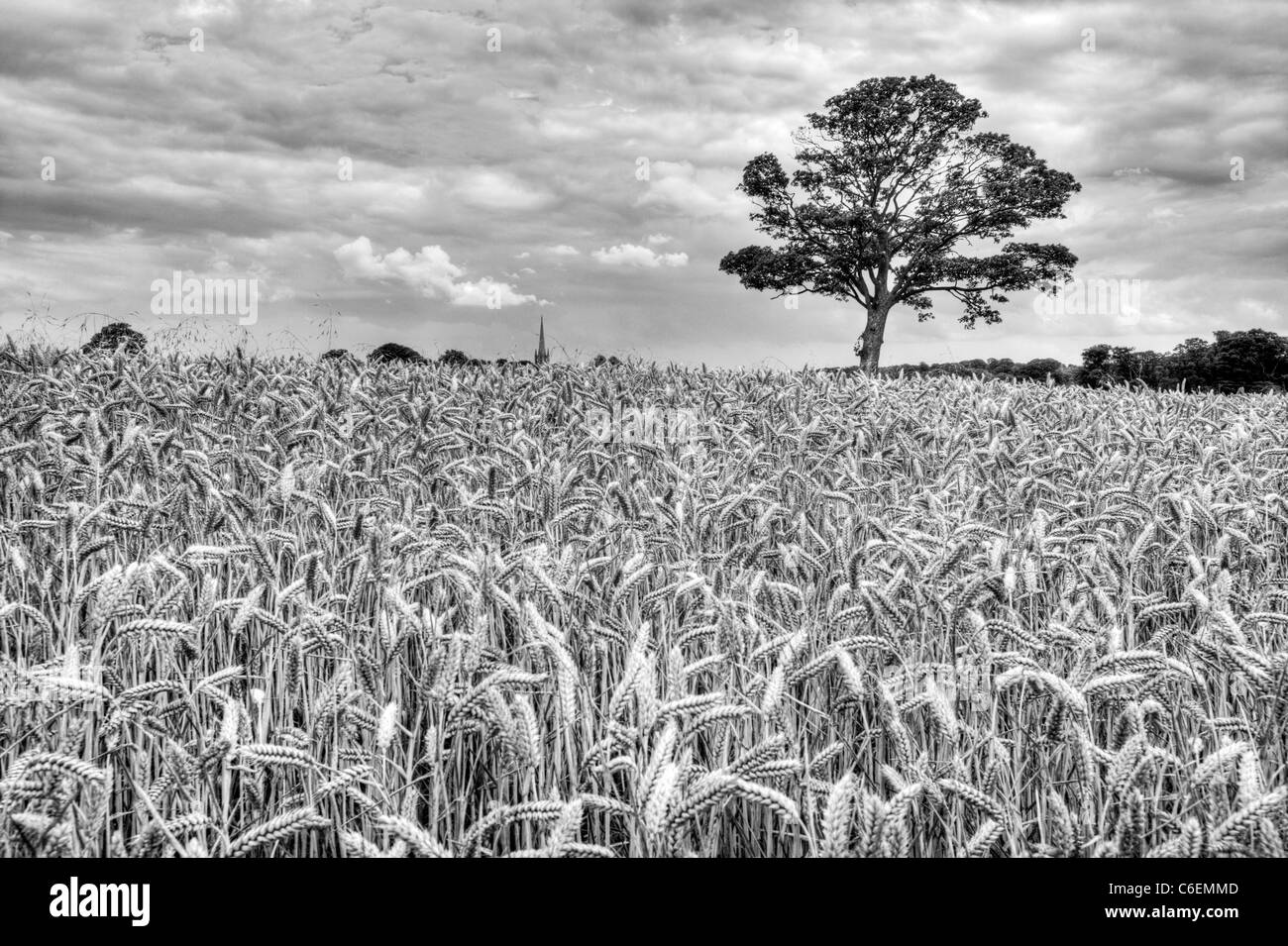 Farmers field of wheat in Louth, Lincolnshire, England. Lone tree on land HDR tonemapped to add drama to image - Stock Image