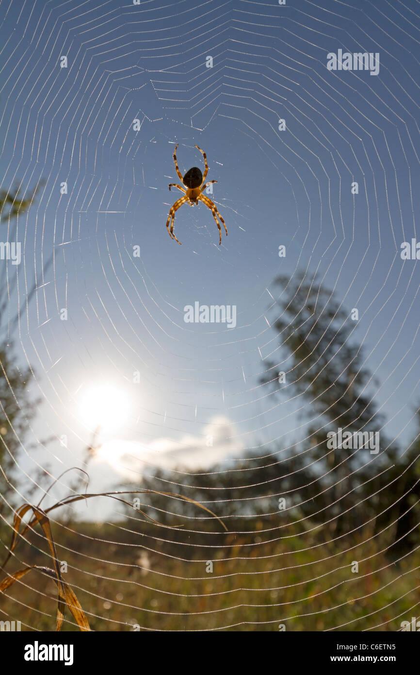 Garden spider with blue sky (Araneus diadematus) - Stock Image