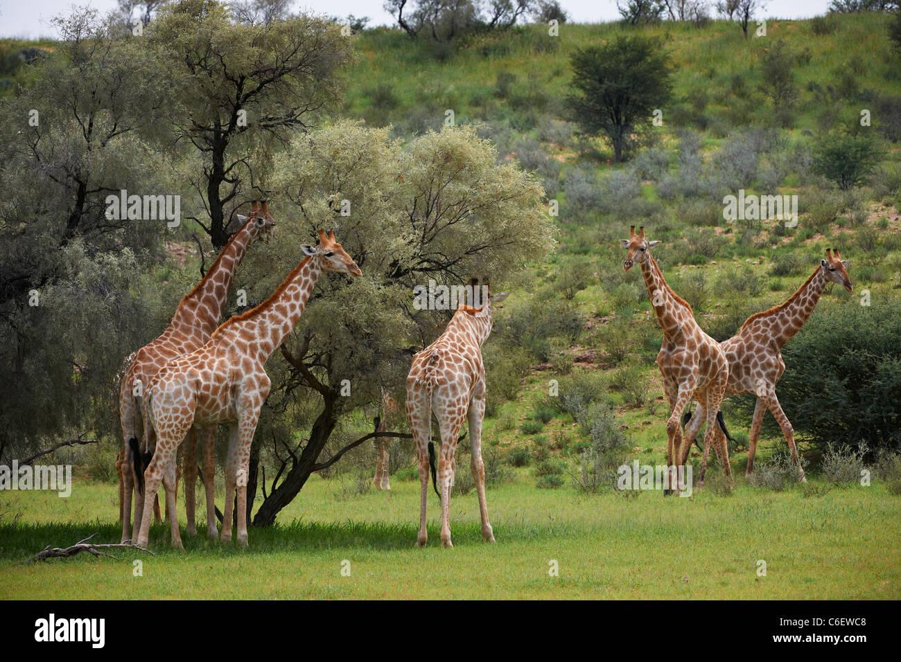 Giraffe, Giraffa camelopardalis, Kgalagadi Transfrontier Park, South Africa, Africa - Stock Image