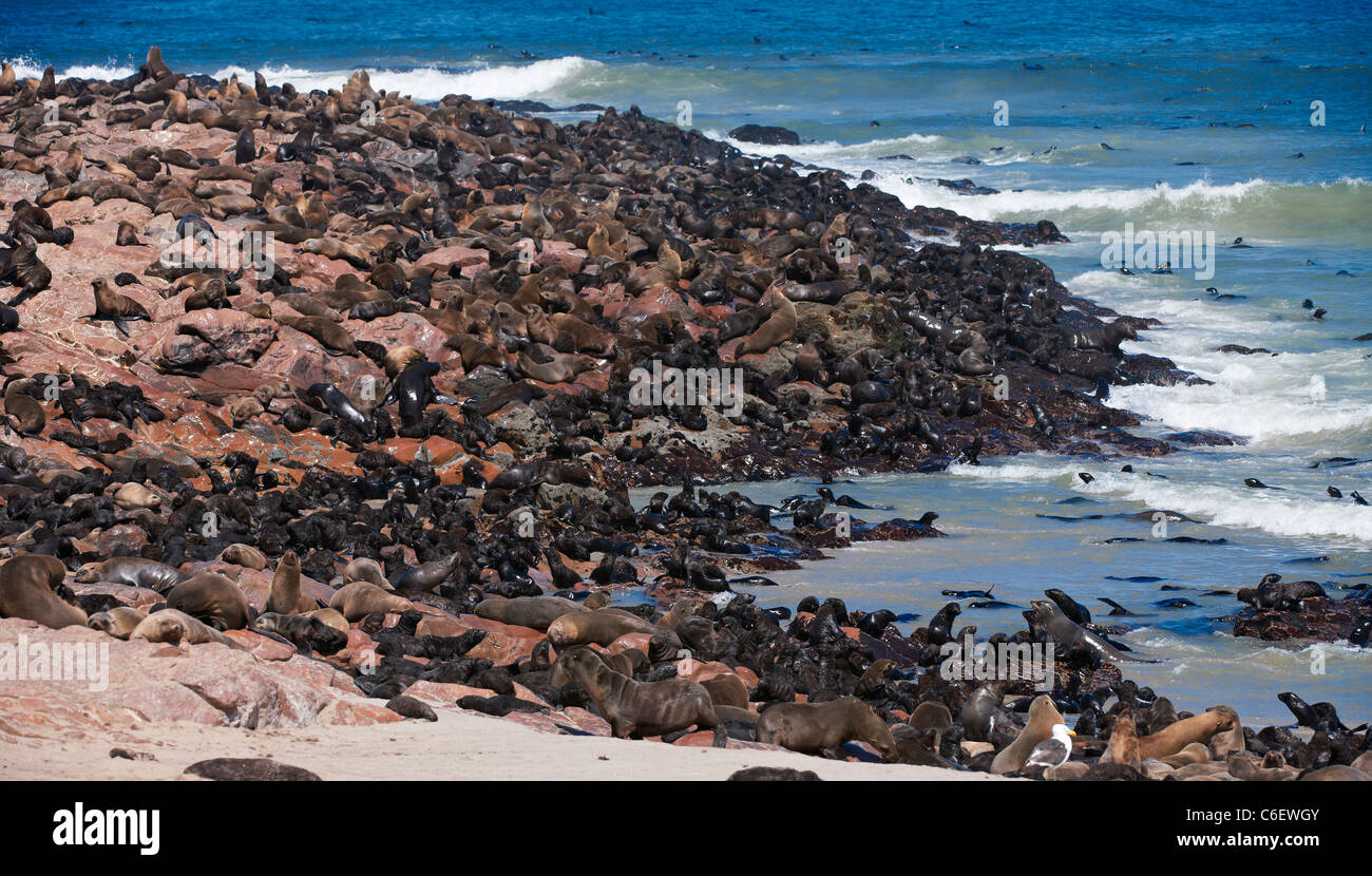 colony of Brown fur seals, Arctocephalus pusillus, Cape Cross on the Skeleton Coast of Namibia, Africa - Stock Image