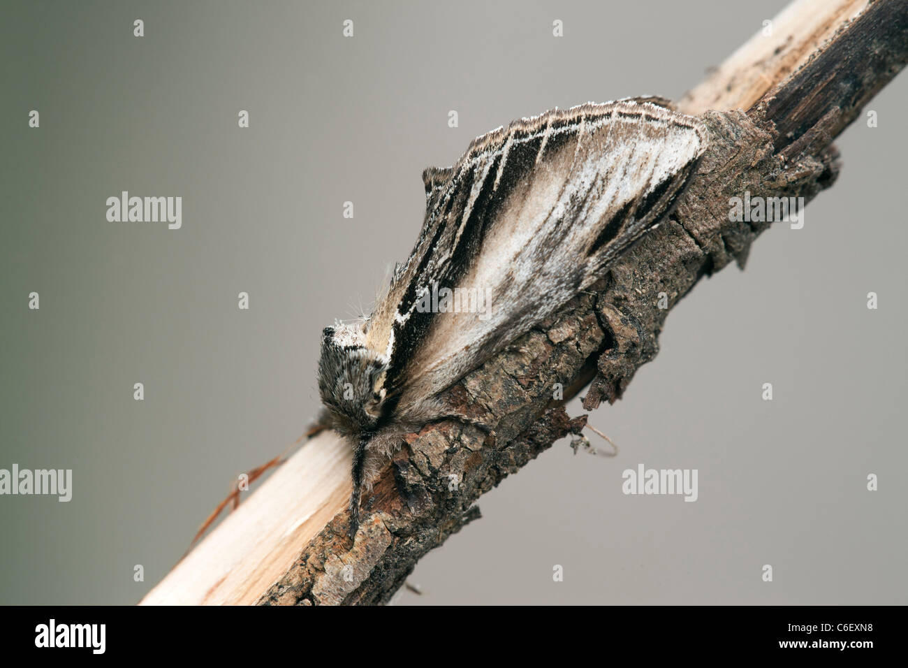 Swallow Prominent Pheosia tremula adult moth at rest on a twing - Stock Image
