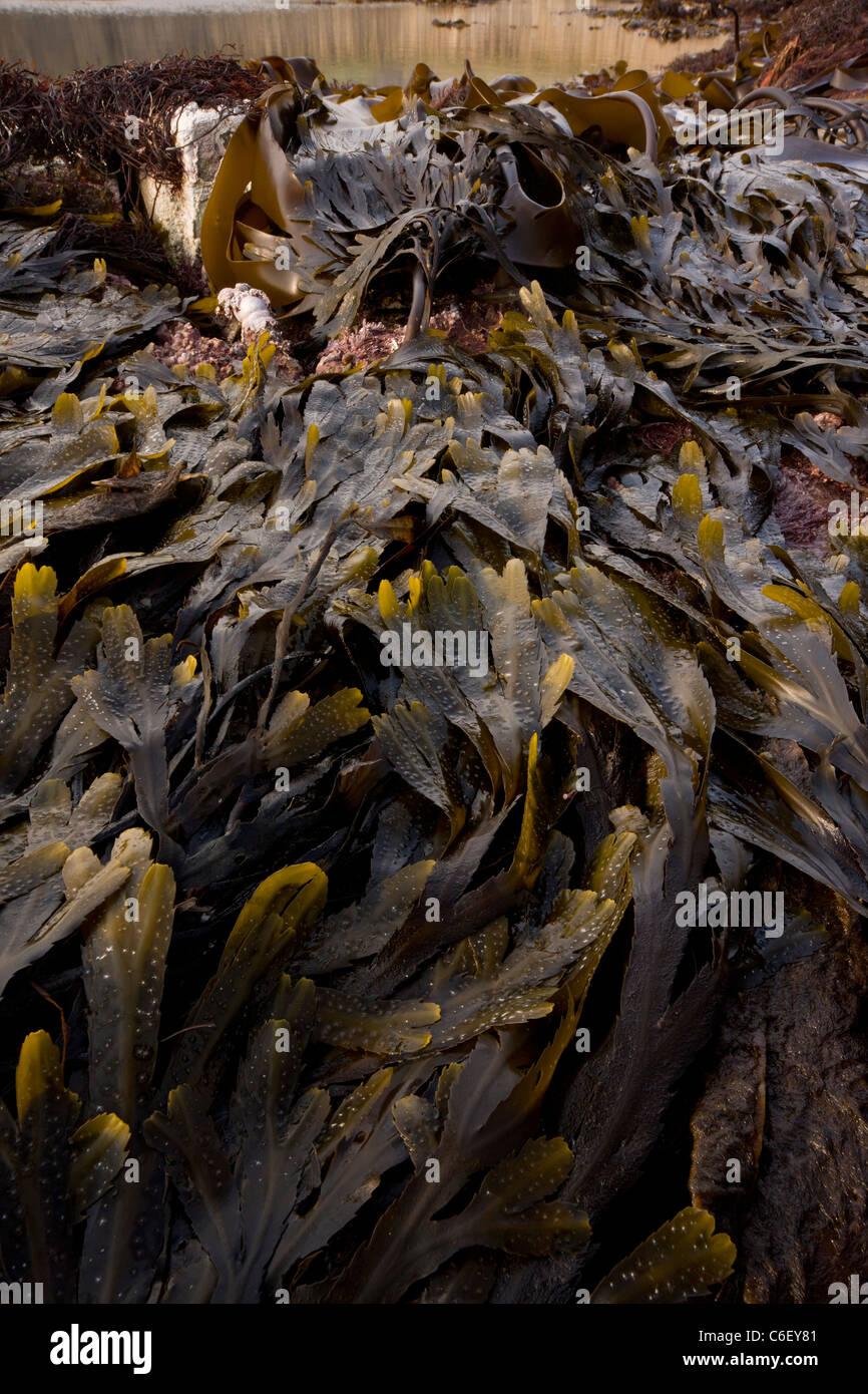 Seaweeds and rockpools at low tide, Kimmeridge Bay, Dorset - Stock Image